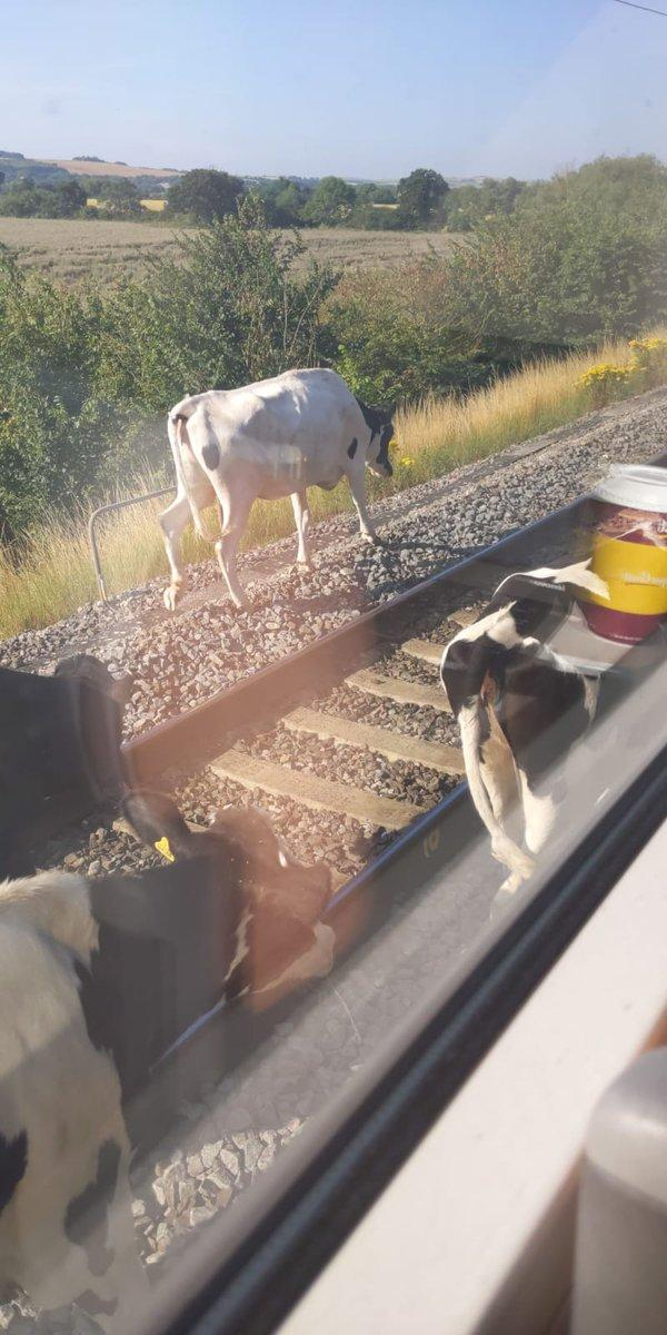 Cows on the line between Swindon and Didcot Parkway Credit: @JamesPo09609823 on Twitter