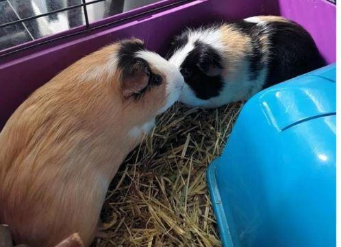 RSPCA hotline calls report cruelty to guinea pigs in Wiltshire