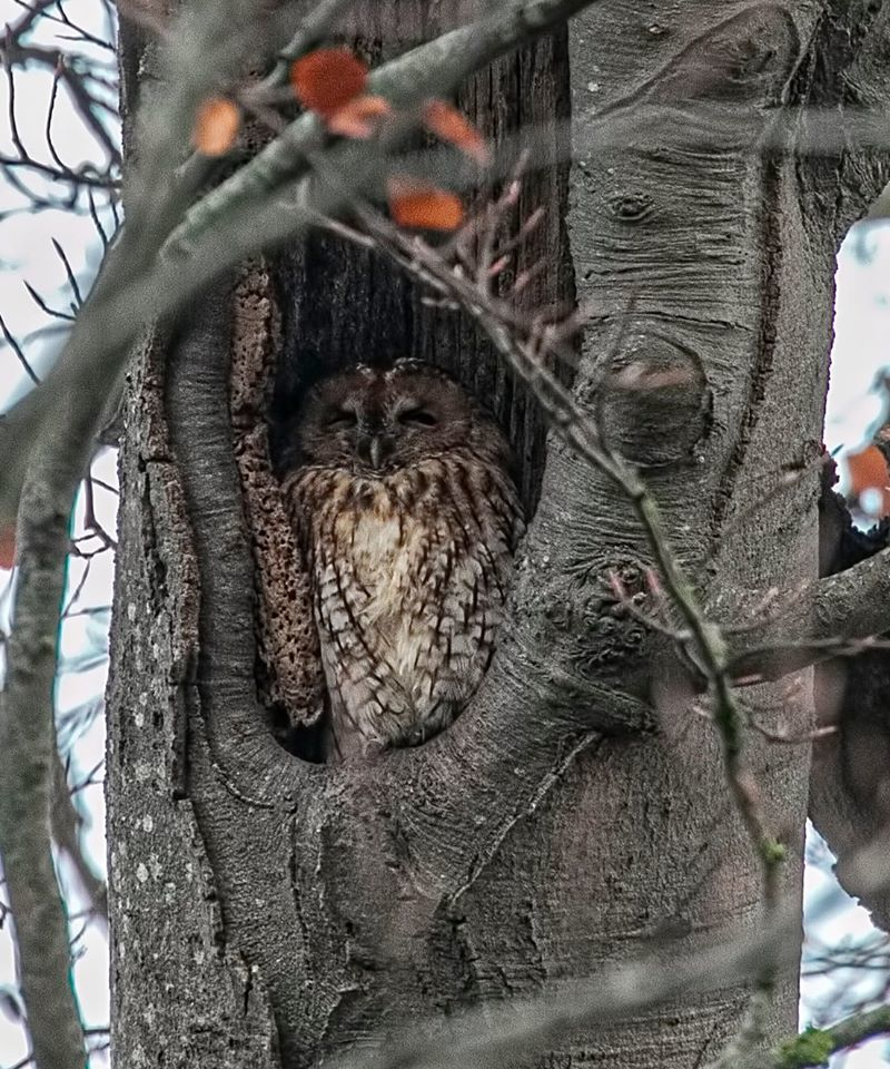 Napping owl spotted by keen-eyed photographer