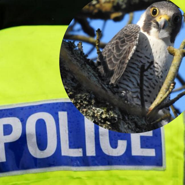 Falcon missing from Covingham FILE PIC: Camera club member