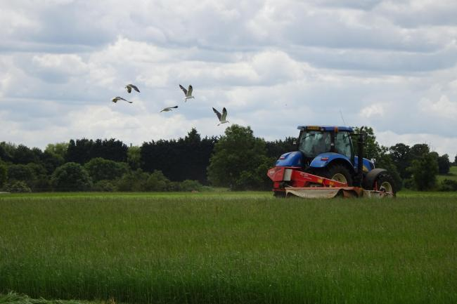 Ian cutting the grass followed by gulls looking for any tasty morsels            Picture: Denise Plummer