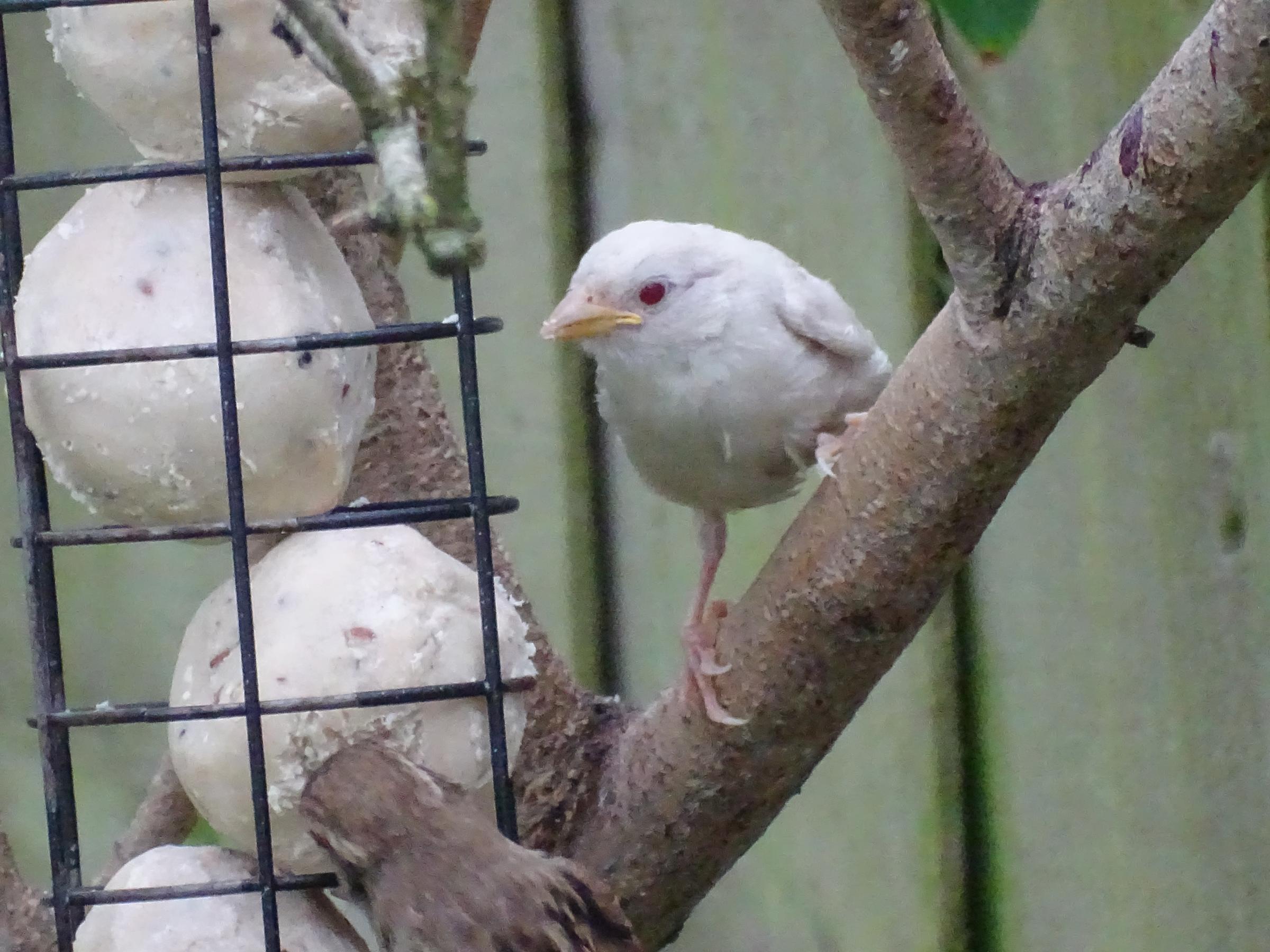 Rare baby albino sparrow lands in nature lover's Royal Wootton Bassett garden