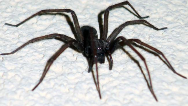 Mating Season Is About To Start For Giant House Spiders Swindon Advertiser