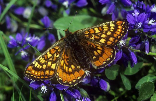 Marsh Fritillary butterfly by Stephen Davis