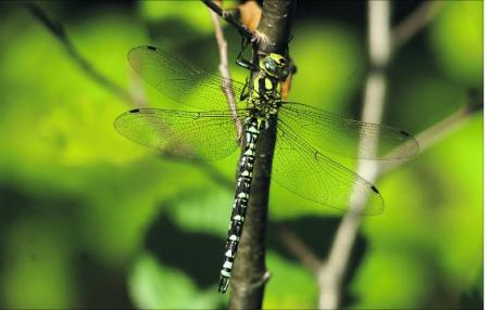 A male southern hawker dragonfly    
