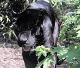 Big cats like this panther are being seen more in the countryside according to a study by Beastwatch UK