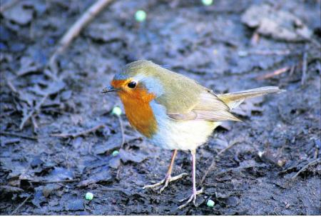 Pictures snapped by readers of the Swindon Advertiser. A robin pays a visit