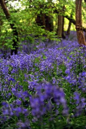 Bluebells are in bloom early this year