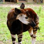 Swindon Advertiser: One of Wild Place's okapi