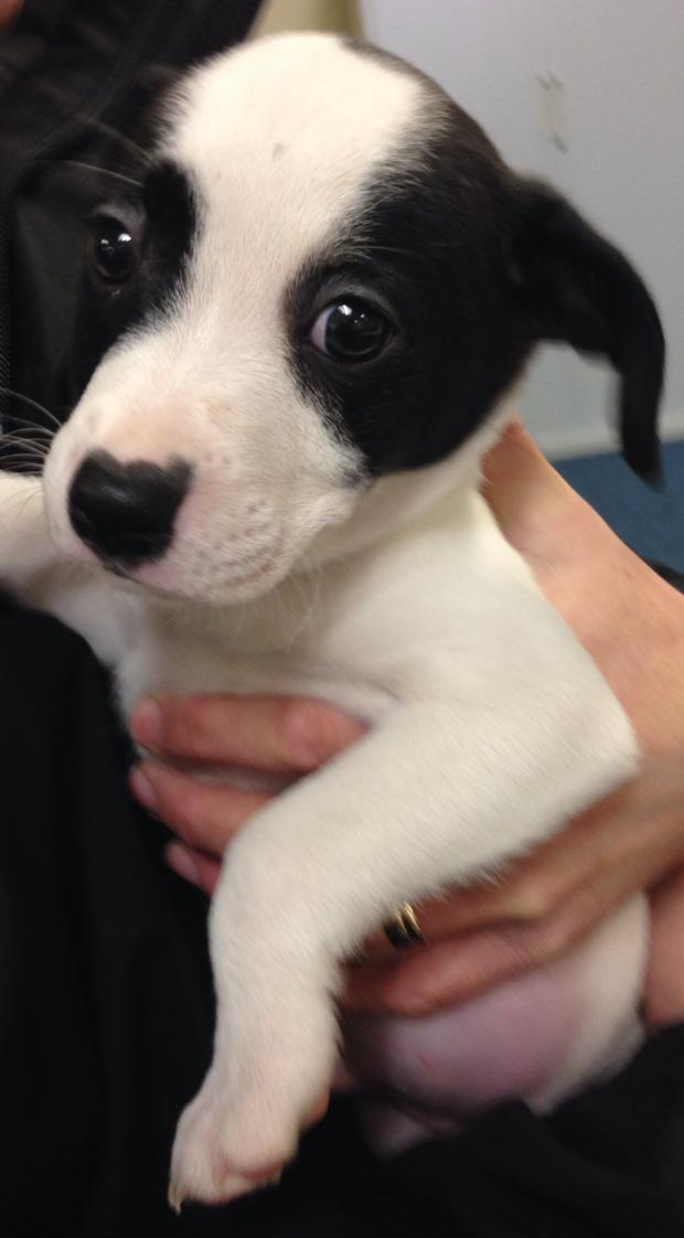 Swindon Advertiser: The eighth puppy to by recovered by Wiltshire Police today