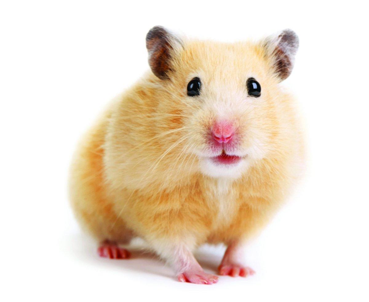 happy happy hamsters swindon advertiser
