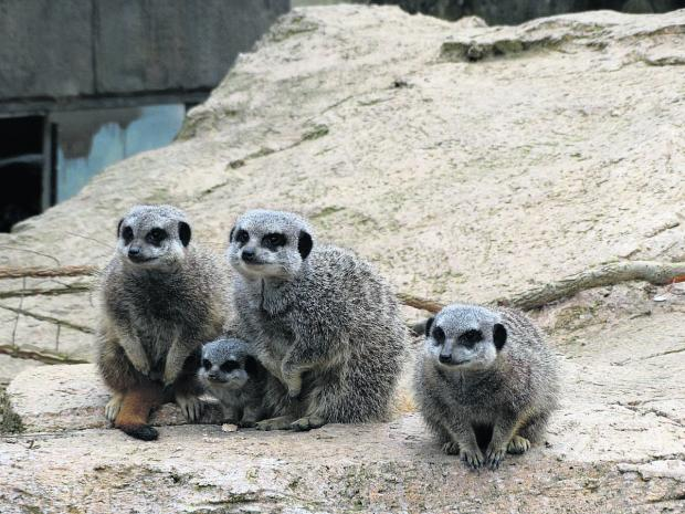 The meerkat family with its new but unnamed addition