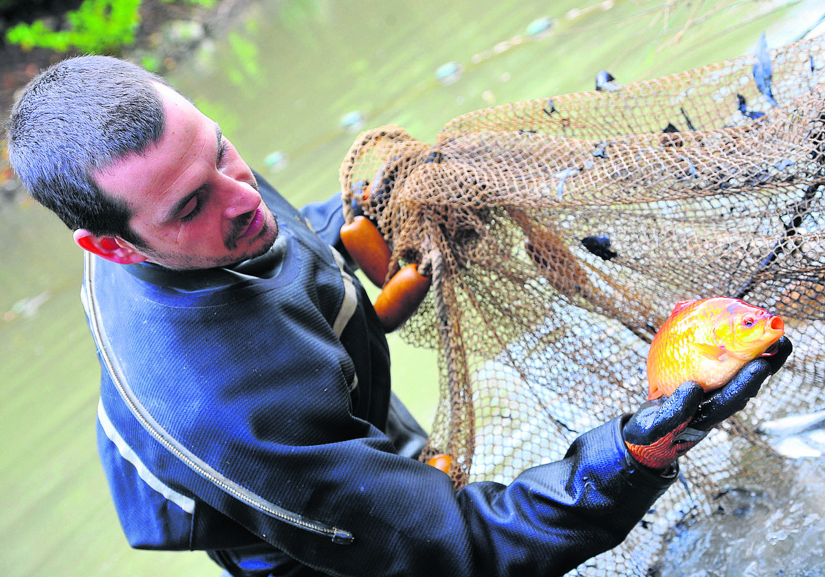 Fish being cleared out of the Wilts and Berks Canal