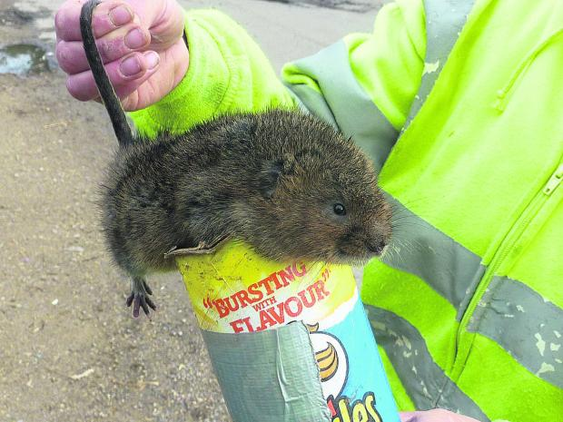 Around 60 water voles are being relocated from the Wiltshire and Berkshire canal to the River Meon in Hampshire