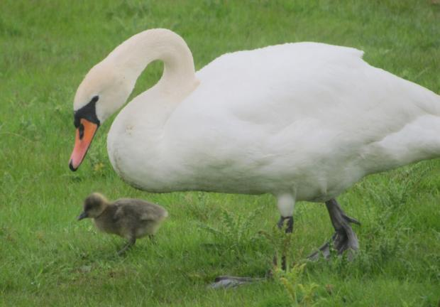 The swan with its adopted gosling      Picture: James Lees