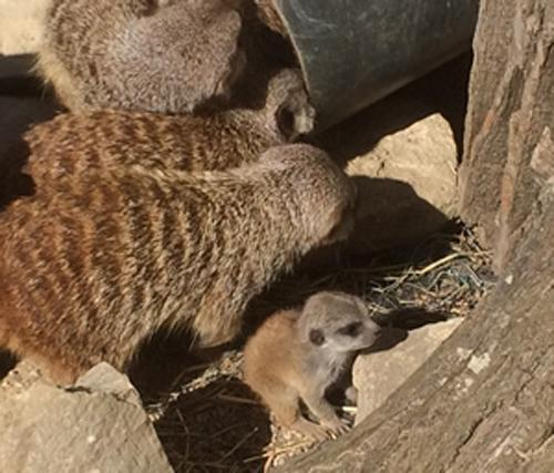 Meerkat pups are new friends for Studley butterflies