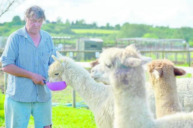 Dave Taylor with his alpacas at Farmtastic, near Brinkworth