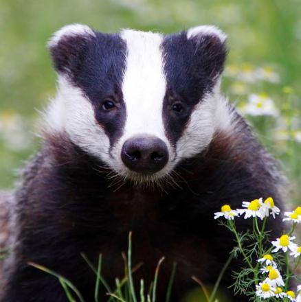 Police have issued a badger warning