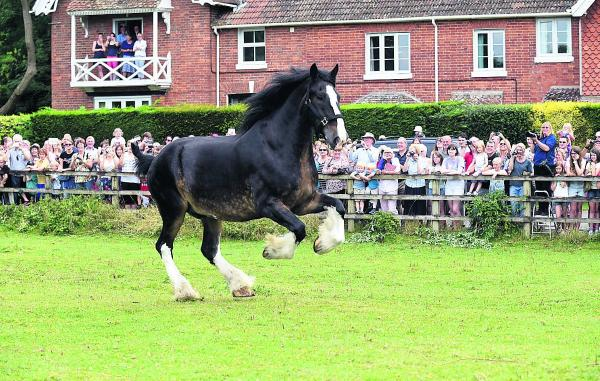 Brewery's horses hop it for annual holiday