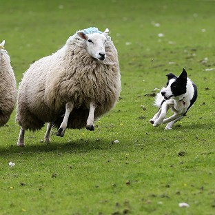 A study found rounding up sheep successfully is a deceptively simple proces