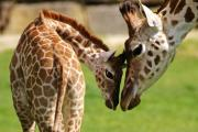 Giraffe mum Gertie with her new calf Perseus at Longleat Safari Park. Picture by Ian Turner