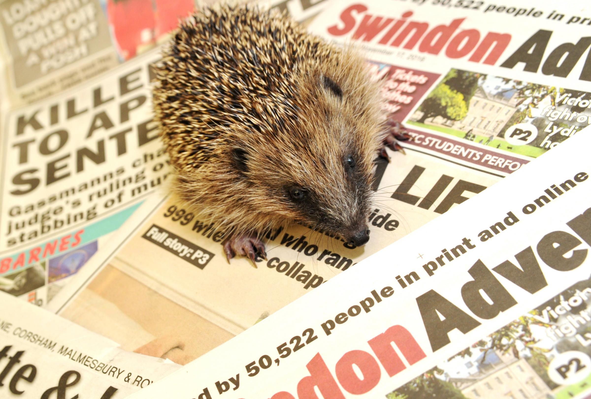 A hedgehog being cared for at Oak and Furrows beds down of the Swindon Advertiser and Gazette & Herald donated by the titles. Picture by Dave Cox