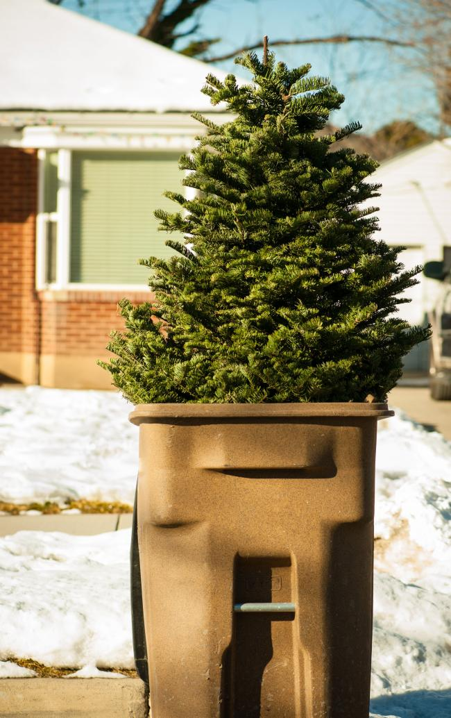 Here S When The Council Will Collect Your Christmas Tree For Free In