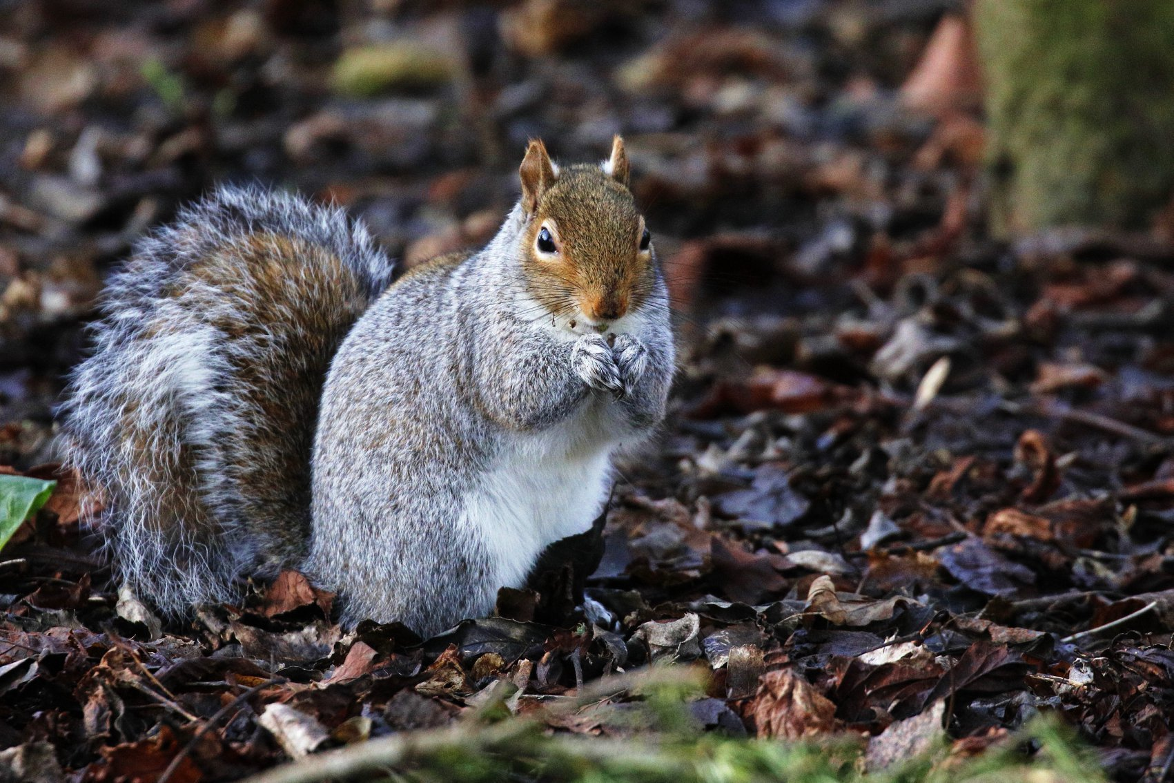 Pete Wilson - Squirrel at Lydiard Park.