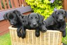 More puppy breeders will have to apply for a licence from the council       Picture by JOHN GURD