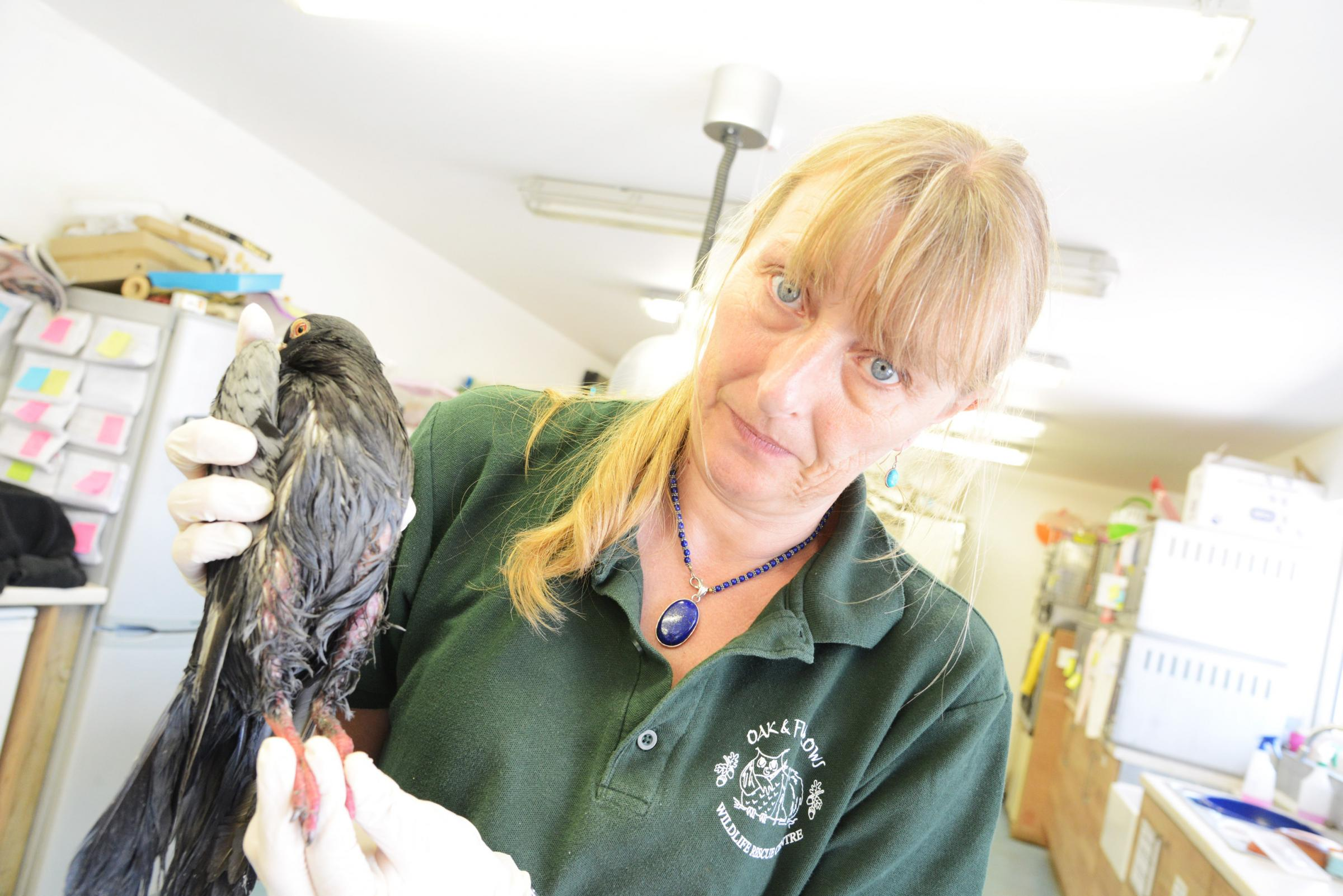 Katie Whitfield from Oak and Furrows with one of the tarred pigeons which have been found in Gorse Hill. Picture: Thomas Kelsey.