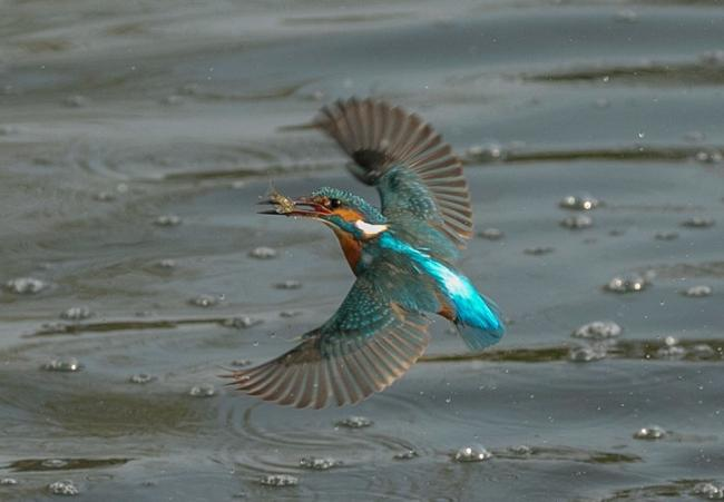Dave Dunn's action shot of a kingfisher rising out of the water with its catch