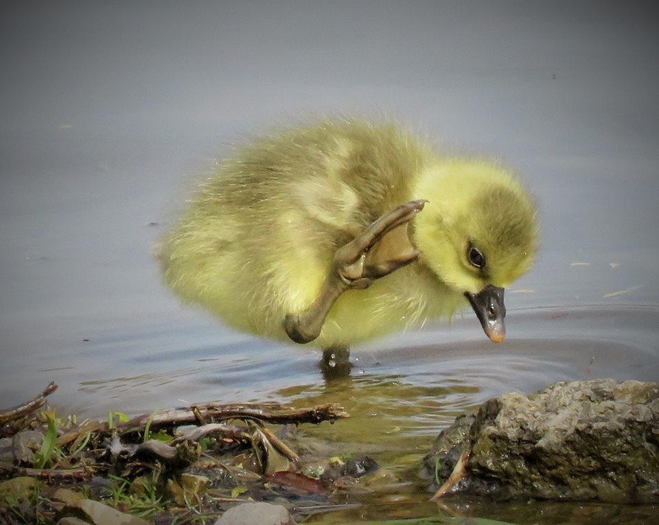 Brian Waller spotted this gosling having a bath