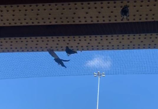 Anger as netting traps Swindon pigeons beneath Transfer Bridges